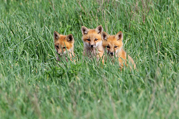 Red Fox Baby Trio_9805
