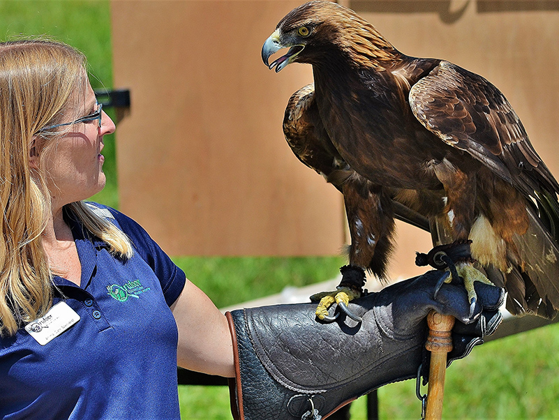 Golden Eagle at DeWitt Birds Of Prey Center