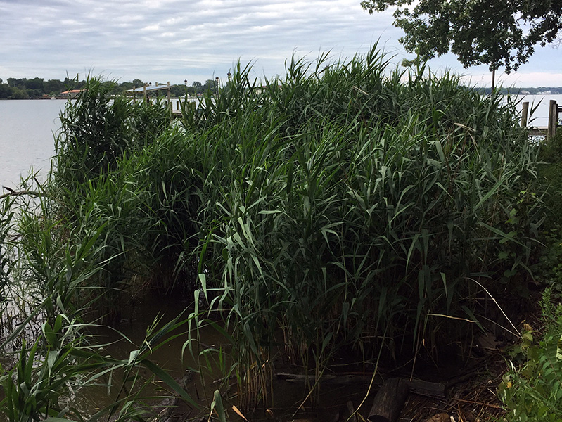 Phragmites overtaking shoreline of Lake Macatawa