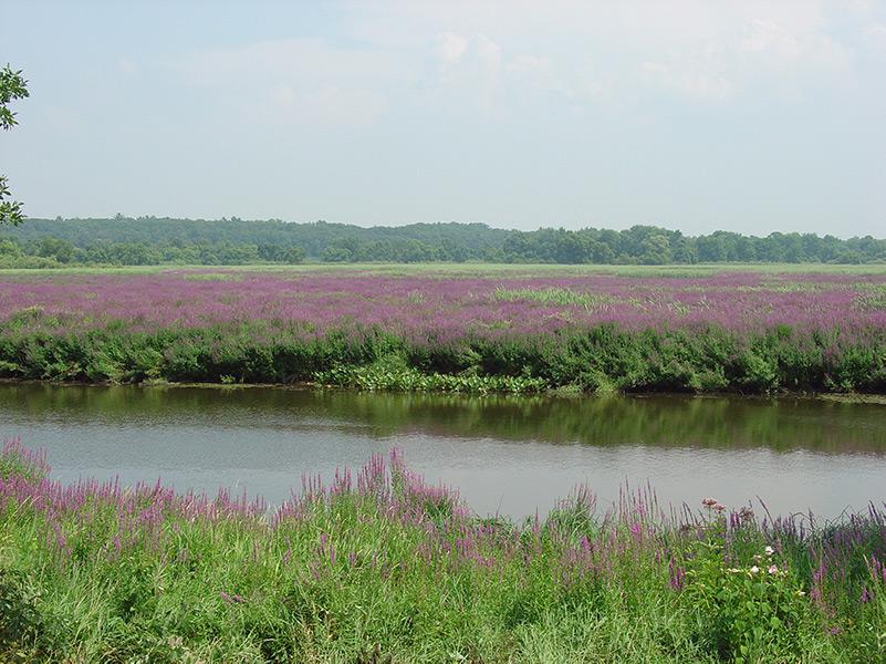 Purple Loosestrife overtaking Pottawatamie Marsh