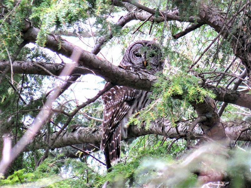 Barred Owl in tree at Rabbit River Preserve