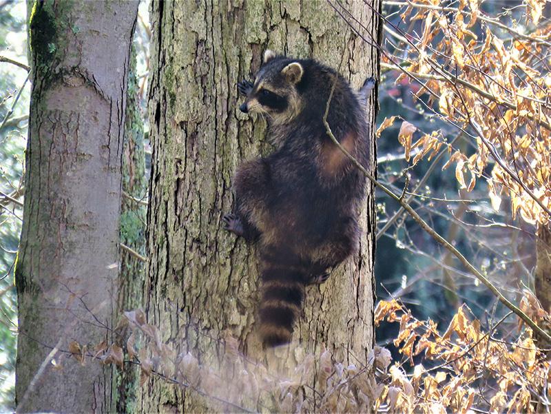 Raccoon climbing tree at Rabbit River Preserve